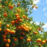 Podar Naranjos