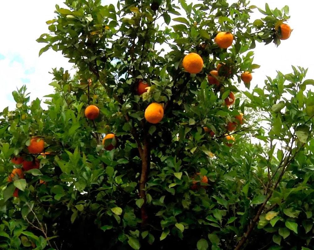 podar naranjos viejos