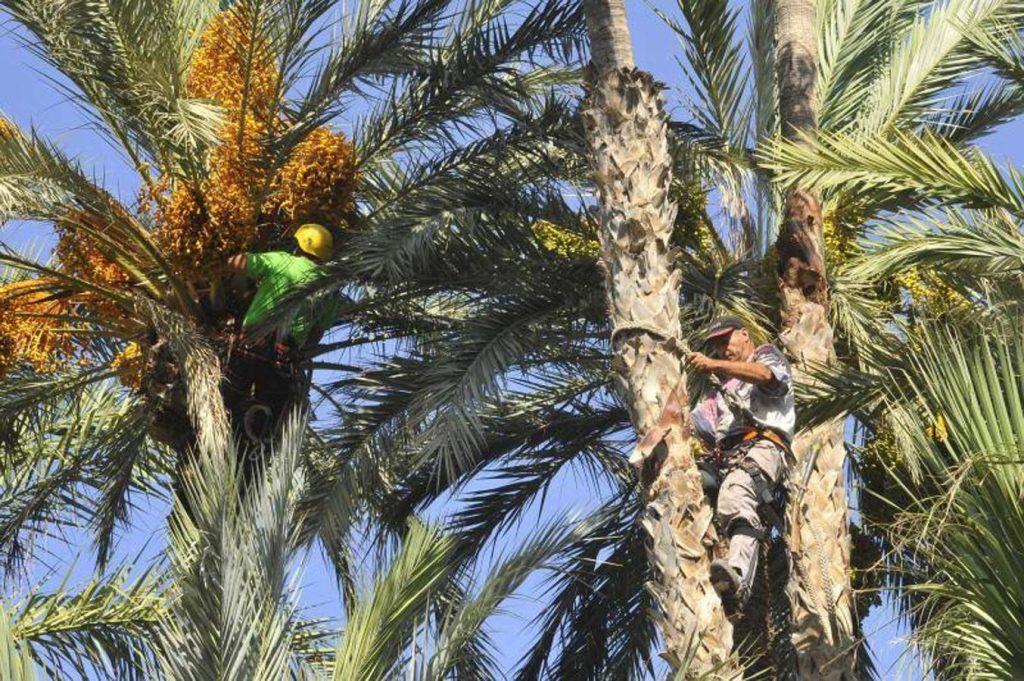 podar palmeras en ingles