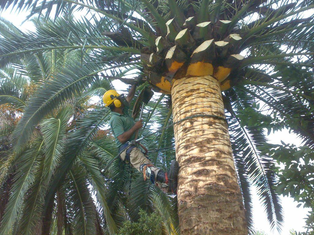 podar palmeras las palmas
