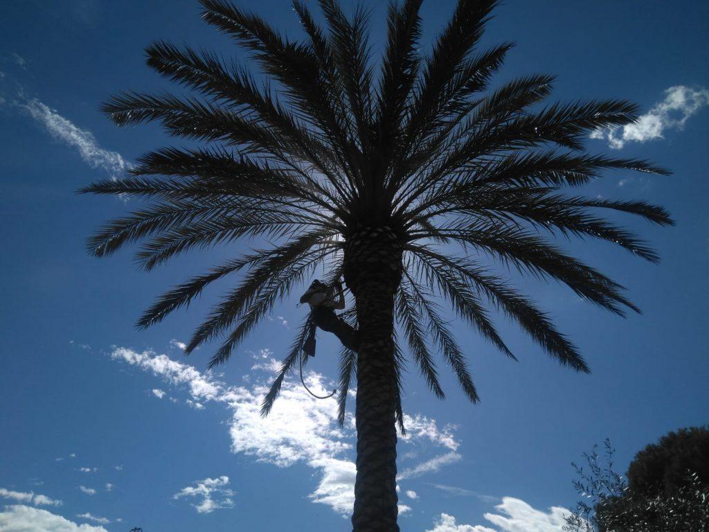 podar palmeras torrevieja