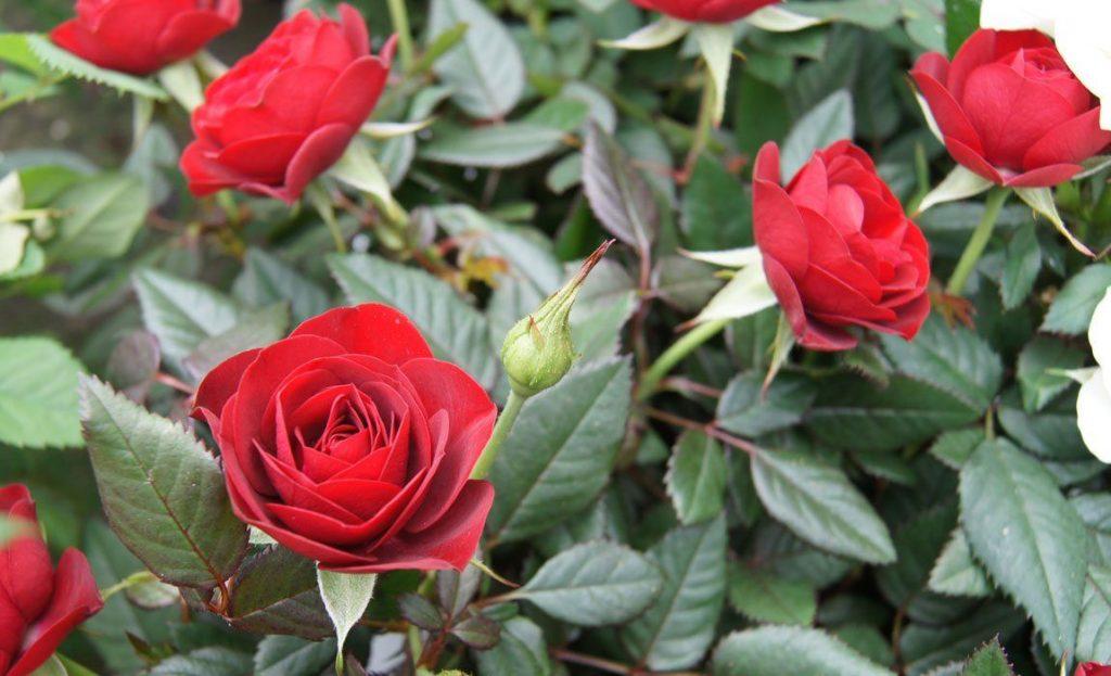 aprender a podar rosales