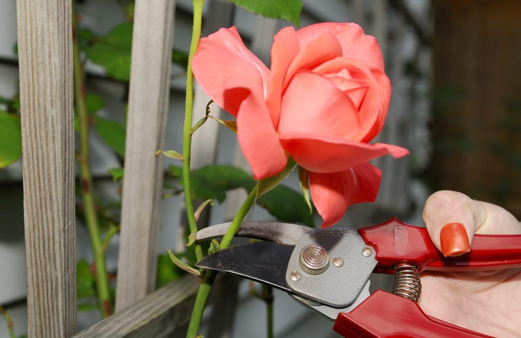 poda de rosales antiguos