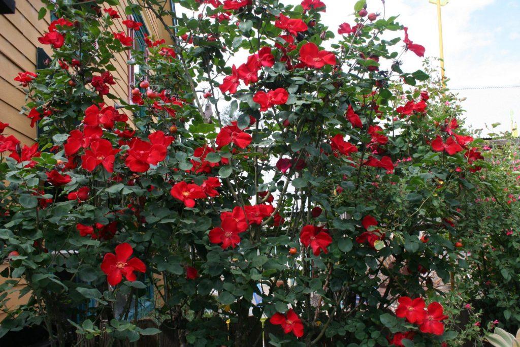 podar rosales en mayo