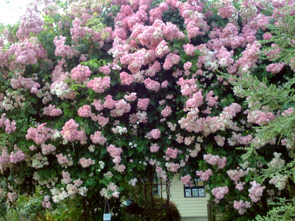 podar rosales con brotes