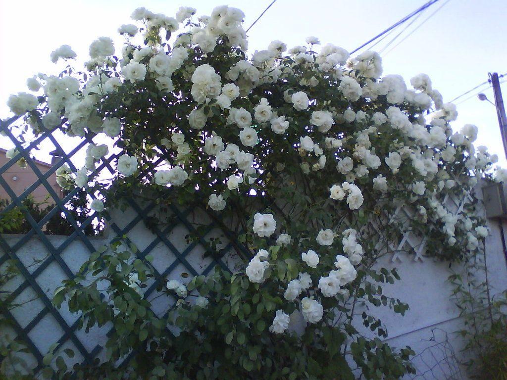 podar rosales en agosto