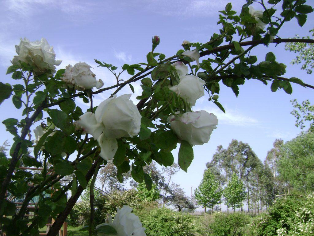 podar rosales en primavera