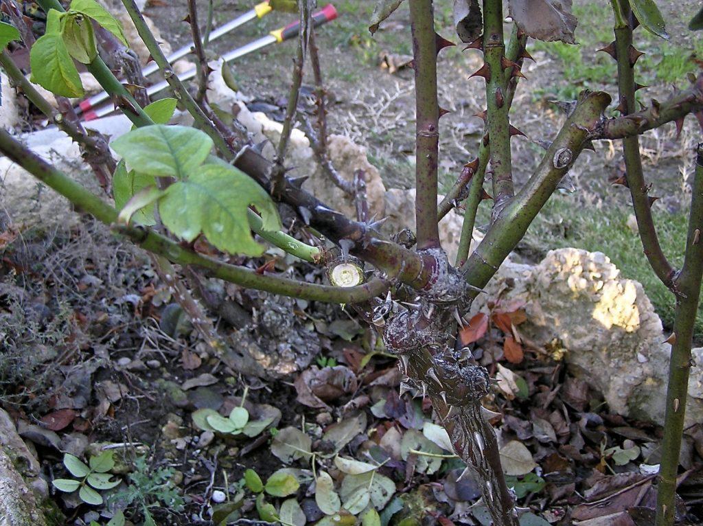 podar rosales trepadores