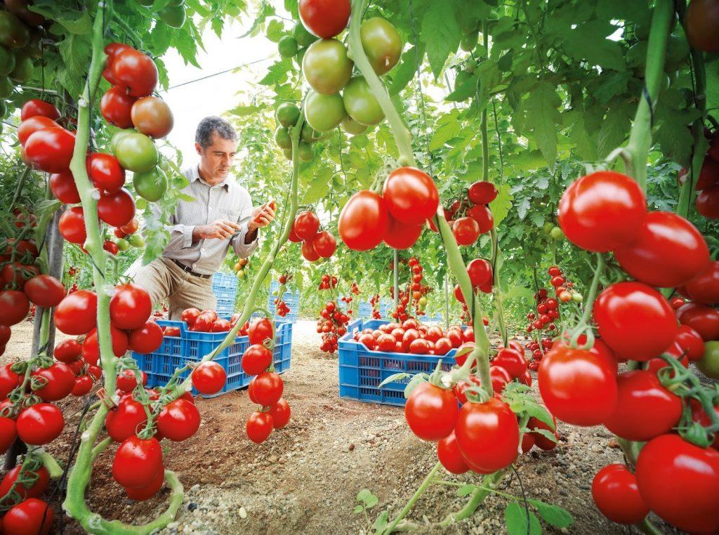 podar tomateras y pimientos