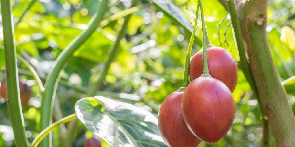 podar tomateras (fotos)