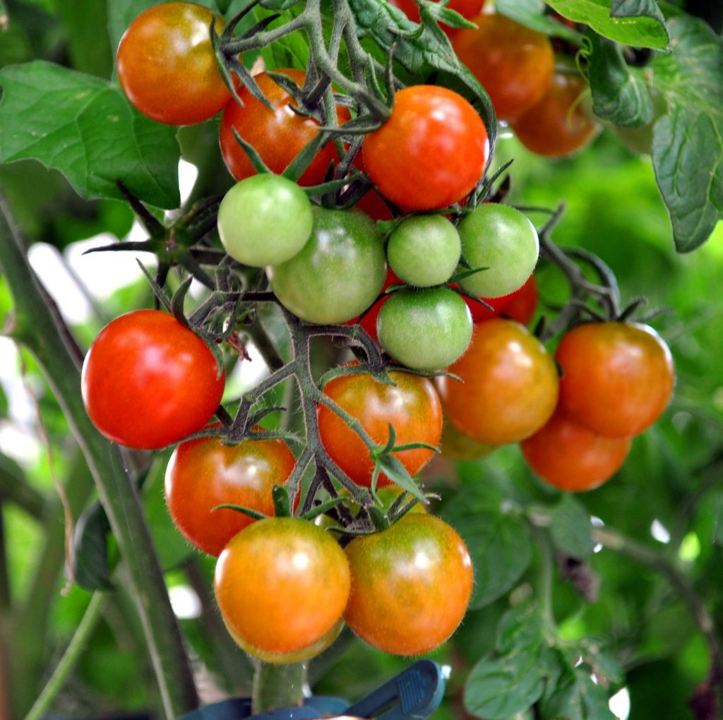podar tomateras huerto