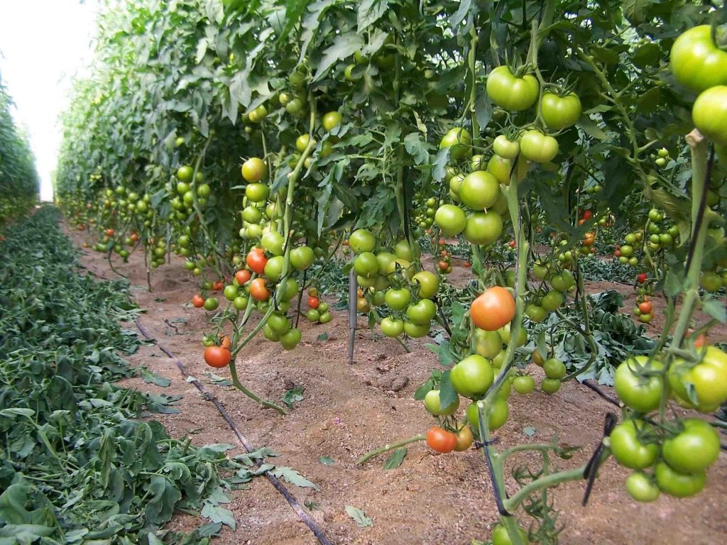 podar tomateras cherry