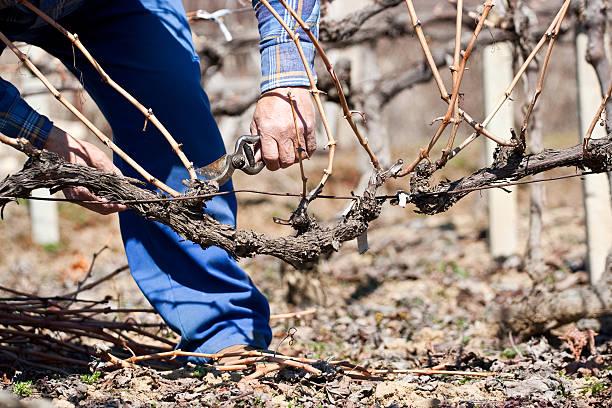 podar viñas galicia