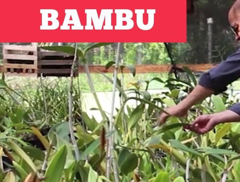 poda de bambu gigante