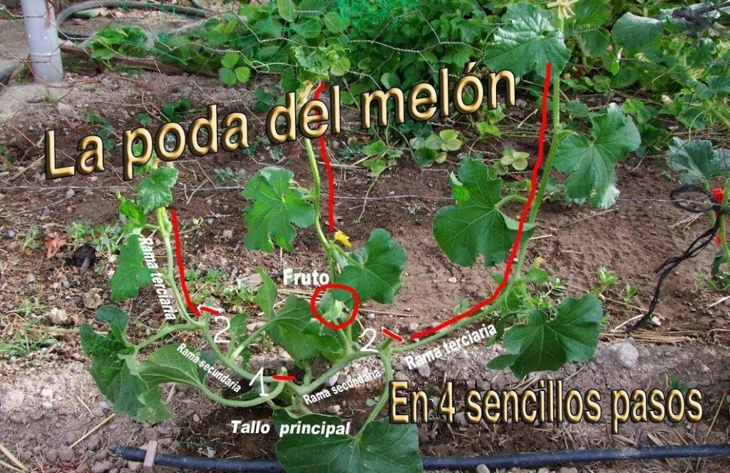 podar planta melones