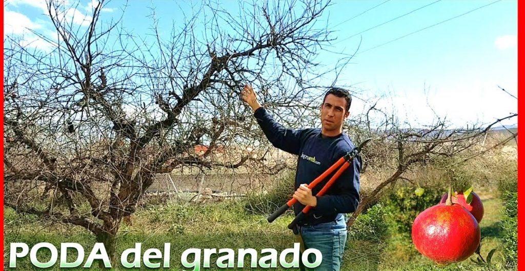 como podar un granado grande