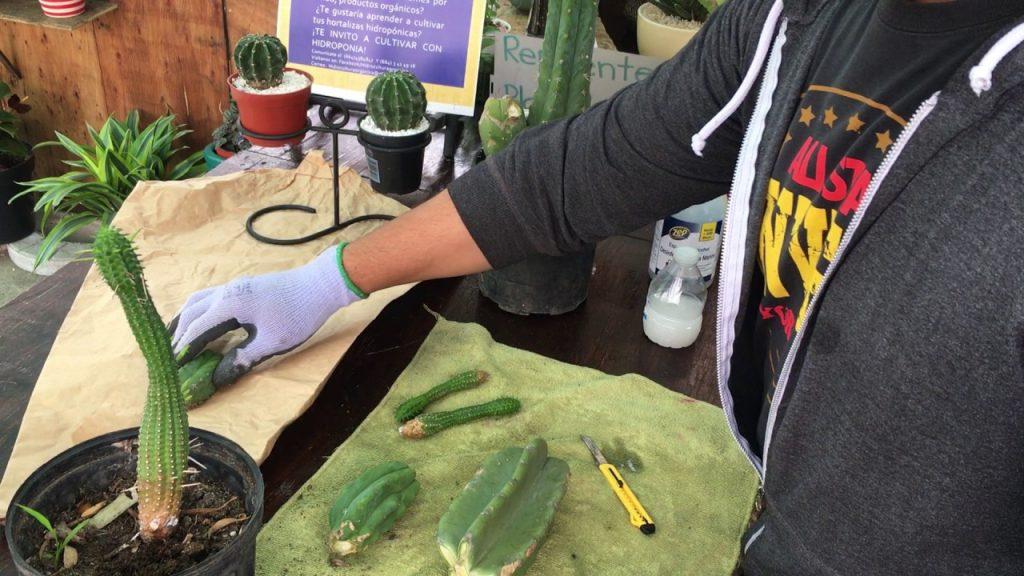 cuando podar cactus
