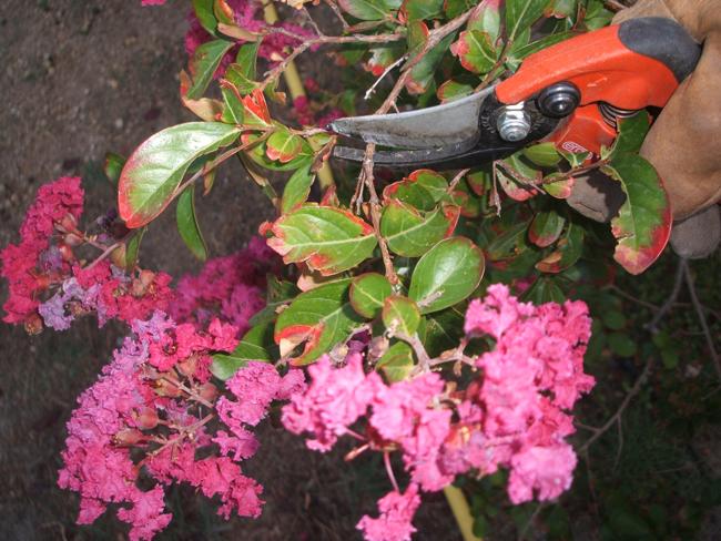 podar en floracion ramas