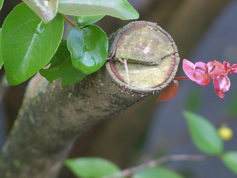 poda en etapa de floracion