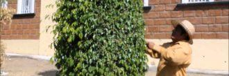 Podar Ficus