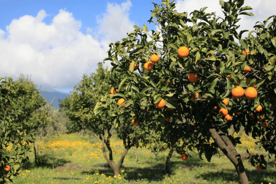 podar arbol mandarina