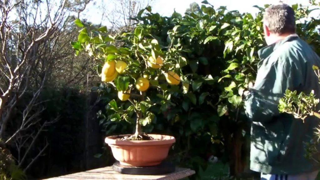 epoca para podar mandarino
