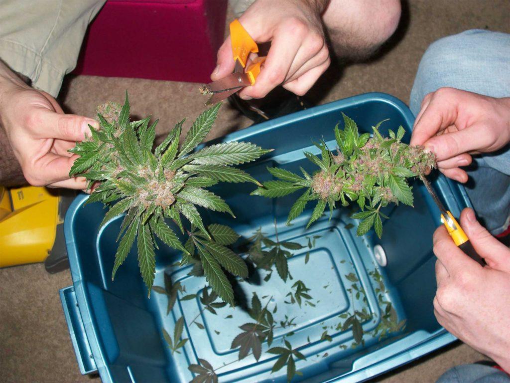 poda apical marihuana paso paso