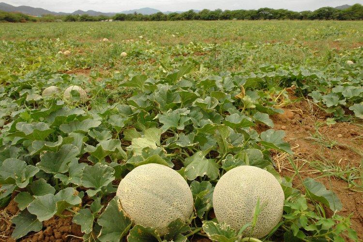 como podar melones y sandias