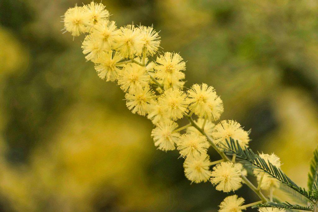 como podar mimosa