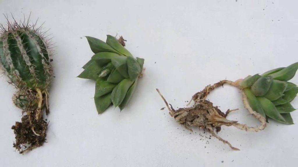 poda cactus enfermo